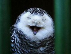 Laughing owl...