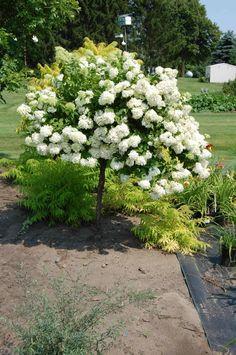 PG Hydrangea on Standard Backyard Plants, Landscaping Plants, Front Yard Landscaping, Garden Plants, Landscaping Ideas, Hydrangea Paniculata, Limelight Hydrangea, Hydrangea Tree, Palmiers