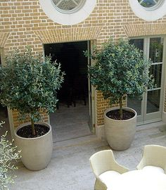 Large pot for indoor olive tree- maybe not this big! Large pot for indoor olive tree- maybe not this Indoor Olive Tree, Potted Olive Tree, Indoor Trees, Large Garden Pots, Garden Planters, Outdoor Planters, Outdoor Gardens, Big Planters, Tree Planters