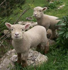 Olde English babydoll southdown sheep