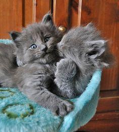 Cute grey cats snuggling awwwwww