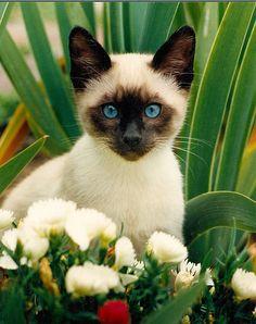 Adoreable! Siamese cat in the garden