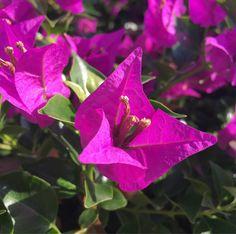 #flowersofcyprus #plantsofcyprus #colorsofcyprus #livinginparadise #begrateful #seieinheld #lebeseelischeidentität Wie geht es Dir heute?