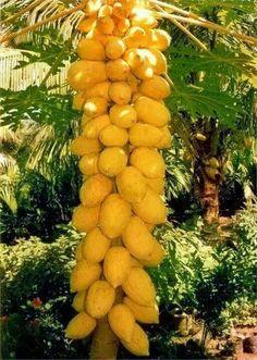 Árbol de papaya .