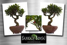 #bonsai #ficus #sankaly Très beau sujet Bonsai Ficus Retusa de 42 cm de hauteur en poterie Chinoise ronde non émaillée. Disponible à la vente chez www.sankaly-bonsai.com  http://www.sankaly-bonsai.com/achat-vente-acheter-bonsai-interieur-sankaly-bonsai/3155-vente-de-bonsai-ficus-retusa-42-cm-sankaly-bonsai-fr140907.html