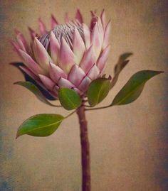 Garden Flowers - Annuals Or Perennials Protea&Fynbos Print Set - Prints Only By Natascha Van Niekerk Fine Art Photography