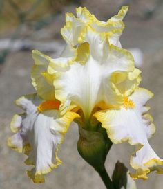 TB Iris germanica 'Bride's Halo' (Mohr, 1971)