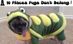 10 Places Pugs Do not Belong