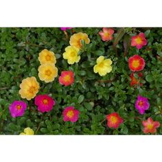 Summer flowers that can withstand the heat especially well - Garden Design Ideas Portulaca Flowers, Portulaca Grandiflora, Portulaca Oleracea, Planting Flowers, Fall Plants, Garden Plants, Bellis Perennis, Ice Plant, Sun Loving Plants