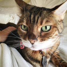 Why hello there Saturday...it's about time you showed up! #saturday  #weekend #fall #autumn #partytime #chillin #ladybrennaoffairfax #cat #cats #catsofinstagram #catsagram #catsofworld #kitty #katzenworldblog #cats_of_instagram #catlover #bengal #bengalcat #bengalsofinstagram #bengal_cats #faithhopeloveandlucksurvivedespiteawhiskeredaccomplice #vais4bloggers #vafoodie #foodblog #foodblogger #virginia