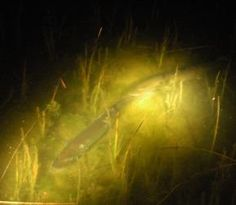 Shining Muskellunge. Two adult muskie engage in their courtship dance in a northern Wisconsin lake.  Courtesy of Joe Nohner/ MSU Center for Systems Integration and Sustainability
