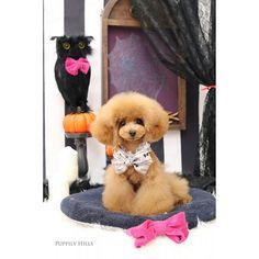 * メイちゃん初トリミングのお写真🐶 私がメイちゃんを見せていただく日、ブリーダーさんがトリミングに出してくださっていました✨ そのままその日にお迎えすることになったので、ブログにはシェリーメイの名前でupしてくださっていました😍❤️ 可愛い〜❣️ ありがとうございました😍💕 * #ふわもこ部#愛犬#プードル#トイプードル#ティーカッププードル#푸들#可愛い#貴婦狗#ベルちゃん#犬バカ#ワンコなしでは生きていけません会#親バカ#ティンカーベル#ベル子 #toypoodle#todayswanko#ilovepoodle#ig_dogphoto#caniche#pawsomepoodles#picsofallanimals#poodle#lovemydog#teacuppoodle#Tinkerbell#ShellieMay #メイちゃん #PuppilyHills#トリミング写真
