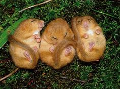 What is more sleepy than one dormouse? than two dormice? yes, three dormice