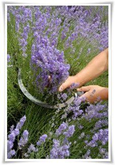 Growing Lavender for Profit on Buzzle at www.buzzle.com/...