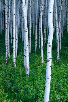 Ideally, the Birch trees would be in rows, evenly spaced apart. Then I would have hammocks hanging from tree to tree to form a square! A great place to hang out!