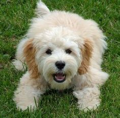 The Cockapoo is the effect of mating either the American Cocker Spaniel or English Cocker Spaniel with a Poodle. Depending on the size of the parent, Cockapoo comes in different sizes. Cockapoo Puppies, Cute Puppies, Dogs And Puppies, Cockapoo Rescue, Mixed Breed Puppies, Cortes Poodle, Pet Dogs, Dog Cat, Doggies