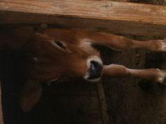 Baby cow @ Avila Barn