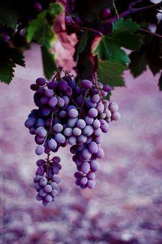 Grape-vine with purple grapes