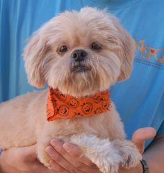 Octavious glows with love and kindness.  He is a cream Shih-Tzu, about 9 years of age and neutered, debuting for adoption today at Nevada SPCA (www.nevadaspca.org).  Octavious gets along beautifully with other dogs and he is reportedly housetrained and compatible with cats and mature kids too.