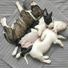 Triple Threat Bullie Pile❤
