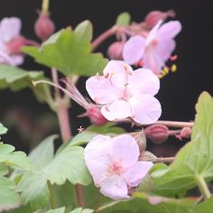 Geranium macrorrhizum 'Ingwersen´s Variety' Flocknäva