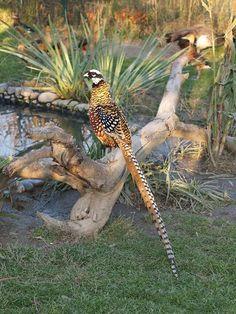 Reeves's Pheasant (Syrmaticus reevesii)