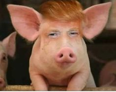 Image result for trump pig meme
