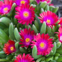 Every rock garden needs a Jewel of the Desert Garnet Ice Plant. #growbeautifully #monroviaplants #monrovianursery #instagardenlovers #lovegardening #garden #nature #gardening #delospermacooperiJewelofthedesertgarnet