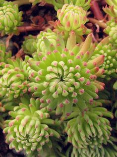 Sedum, I think supposed to be 'Silver Stone', 24 May 2010