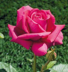 """ Greffe de Vie "" (Meiclicel) - Hybrid tea rose - Strong, fruity fragrance - Meilland International (France), 2008"