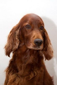 Kimmy ~ Irish Setter Pup ~ Classic Look & Trim