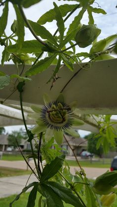 Love is a Passion Flower #blessed