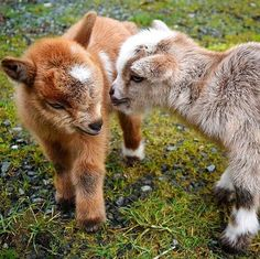 What's better than one baby goat?? TWO BABY GOATS! So adorable! ❤️ #goatloversanonymous