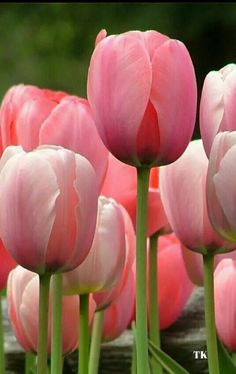 Pink tulips More