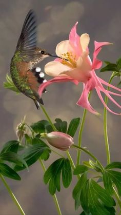 The flower is Columbine. I think the hummer is a Broad-tailed Hummingbird. Pure…