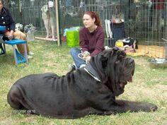 Very large dog.