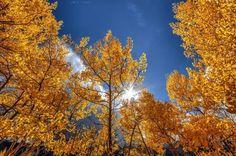 Trees of Fall in Colorado (70 pieces)