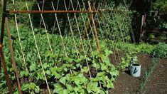 Pole Beans: How Important is Companion Planting? Iron Trellis, Metal Trellis, Wall Trellis, Bamboo Trellis, Wooden Trellis, Trellis Fence, Trellis Ideas, Wedding Trellis, Plant Growth