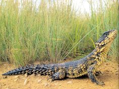 The Sungazer Lizard (Cordylus giganteus) or Giant Girdled Lizard lives in colonies and digs burrows into the silty soil of South African grassland. The name Sungazer comes from their habit of sitting at the burrow entrance and facing the sun.