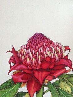 Karen Bailey Waratah 1 Coloured Pencil over Ink November Click the image… Australian Wildflowers, Australian Native Flowers, Australian Plants, Australian Artists, Botanical Drawings, Botanical Prints, Waratah Flower, Orchid Drawing, Protea Art