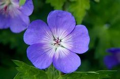 Geranium Rozanne - Plant of the Centenary shown at Chelsea 2013 / RHS Gardening