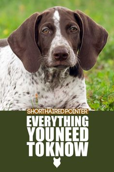 Learn everything you need to know about owning a German Shorthaired Pointer dog or puppy, including their history, health, grooming, life expectancy, temperament and much more! More dog breed information at Fenrir Canine Leaders and Fenrir Canine Show! German Dog Breeds, Best Dog Breeds, Best Dogs, Pointer Puppies, Pointer Dog, Dog Breed Info, German Shorthaired Pointer, Hunting Dogs, Family Dogs