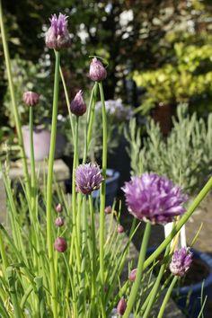 #garden #purple #flowers