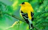 Birds Colorful World American Goldfinch wallpaper