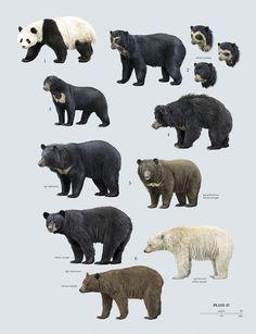 "Family Ursidae (Bears) - plate 27 from ""The Handbook of Mammals of the World"""