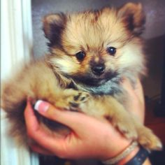 Mini Pomeranian :) this is the dog me and garrett will get. This and a yorkie:)