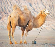 Beautiful Horses, Beautiful Birds, Animals Beautiful, Alpacas, Rare Animals, Animals And Pets, Wild Animals, Camelo Bactriano, Amphibians