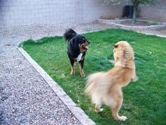 Tibetan Mastiff Rescue, Inc. - Sheba's Rescue Success Story -  Click on Pic