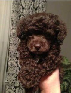 The traits I admire about the Eager Poodle Puppies Tiny Toy Poodle, Toy Poodle Puppies, Maltipoo Puppies, Goldendoodles, Cavapoo, Pomeranians, Havanese, Labradoodle, Red Poodles