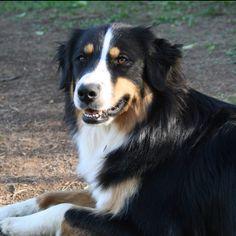 Australian Shepherd...Looks so much like My BERNICE... :(